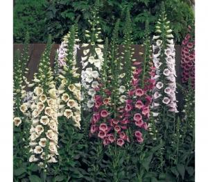 Цветы Наперстянка смесь Эксельсиор