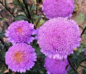 Цветы Астра Ненси