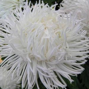 Цветы Астра Невеста