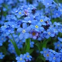 Цветы Незабудка