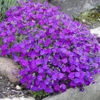 Цветы Обриета Кемпбелл