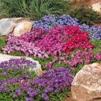 Цветы смесь Обриета
