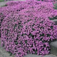 Цветы Обриета Пурпурный Каскад