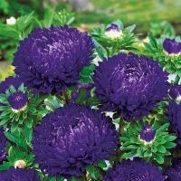 Цветы Астра Одарка