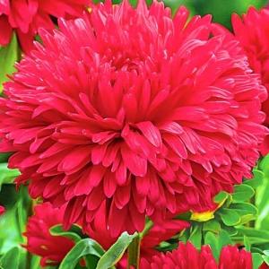Цветы Астра Огненная жемчужина