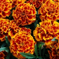 Цветы Бархатцы Оранжевое Пламя