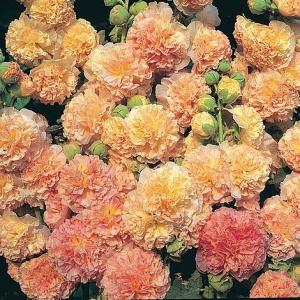 Цветы Мальва Ореховый спас