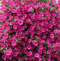 Цветы Петуния ампельная Вельвет Парпл F1