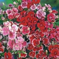 Цветы Гвоздика Персидский Ковер