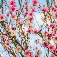 Набор для защиты персика после цветения