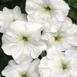 Цветы Петуния Белая