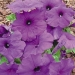 Цветы Петуния Мамбо F1 Насыщенно-Пурпурная
