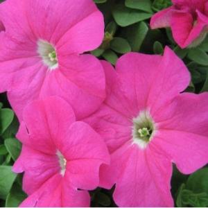 Цветы Петуния Белый Вальс