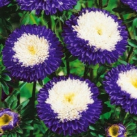Цветы Астра Пинелопа