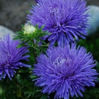 Цветы Астра Подарок маме