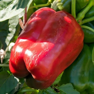 Перец сладкий Паланска Бабура