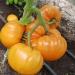 Помидор Бизон оранжевый