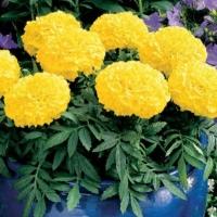 Цветы Бархатцы Портос