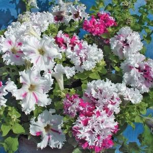 Цветы Петуния Поздрав из Яромнерже F1