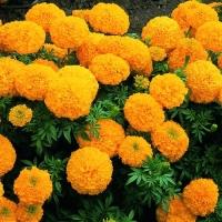 Цветы Бархатцы Принц Оранж