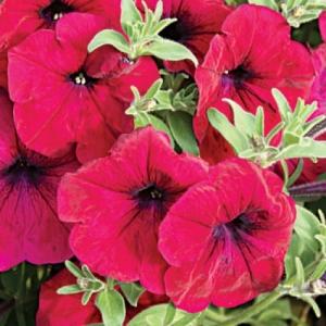 Цветы Петуния ампельная Лавина F1 Пурпурная