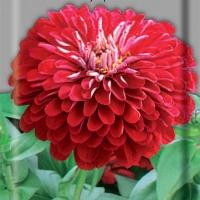 Цветы Циния Пурпурный  Принц