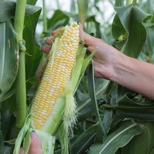 Кукуруза сахарная Ракель F1