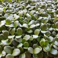 Микрозелень Расторопша