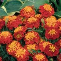 Цветы Бархатцы Ред Черри
