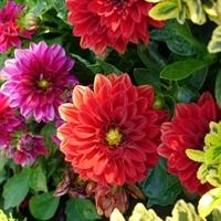Цветы Георгины смесь Ред Скин махровая