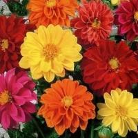 Цветы Георгины смесь Риголетто махровая