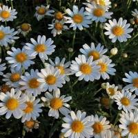 Цветы Ромашка римская Кэнди