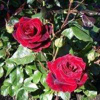 Набор для защиты роз перед бутонизацией
