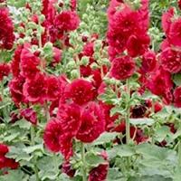 Цветы Мальва  Майоретте Красная