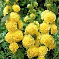 Цветы Мальва Майоретте желтая