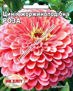 Цветы Циния Роза