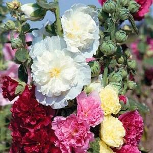 Цветы Мальва Королевская смесь