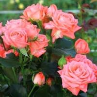 Набор для защиты роз от болезней и клеща