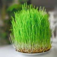 Микрозелень Рожь посевная