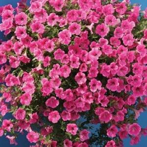 Цветы Петуния ампельная Розовая Лавина F1