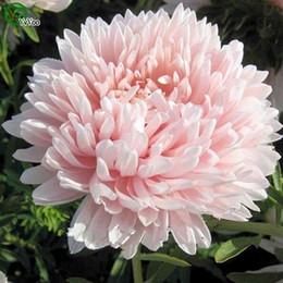 Цветы Астра Валькирия