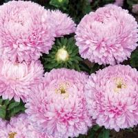 Цветы Астра Хризантелла Розовый Восторг
