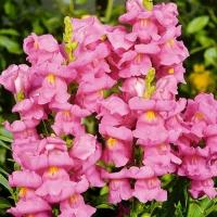 Цветы Львиный зев Розовая Пантера