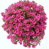 Цветы Петуния ампельная Вельвет Роуз Вейн F1