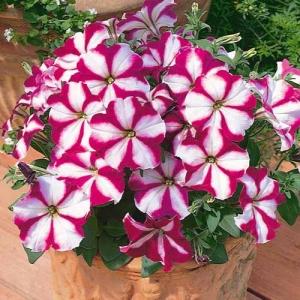 Цветы Петуния Ламбада F1 Розовая Звезда