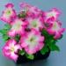Цветы Петуния Танго F1 Розовое утро