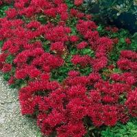Цветы Седум Румянец Ложный
