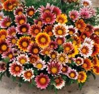 Цветы Гацания смесь Садовая звезда