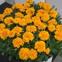 Цветы Бархатцы Сафари