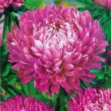 Цветы Астра Седая дама розовая